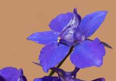 Purple Larkspur flower Stock Photography