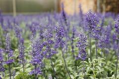 Purple Lavander Flowers stock images