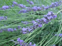 Purple lavandula flowers, herb for beauty and health, lavander stock images