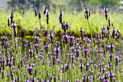 Purple lavender Royalty Free Stock Photography