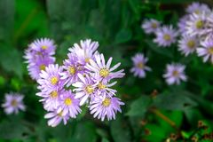 Purple Lavender Aster Flower with Golden Center Button and Blur Deep Green Leaves Background. Selective Focus stock image