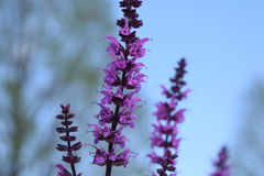 Purple Lavender with background blur Stock Photo
