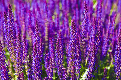 Purple lavender background Stock Photography