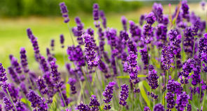 Purple Lavender. Beautiful Lavender flower in the farm Stock Photo
