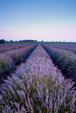 Purple lavender beauty Stock Photography