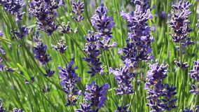 Purple Lavender With Bees Stock Images