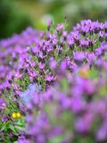 Purple lavender blooming in spring in Auckland Botanic Gardens Royalty Free Stock Photo