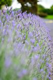 Purple lavender blooming in spring in Auckland Botanic Gardens Stock Photos