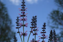 Purple lavender. With blue blur background affect Stock Photos