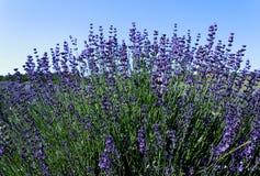 Purple lavender Stock Photography