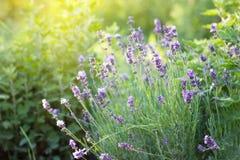 Purple lavender Bush at sunset. Close-up royalty free stock image