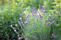 Purple lavender Bush at sunset. Close-up stock photos