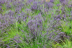 Purple lavender. Bushes in France, Europe Royalty Free Stock Image