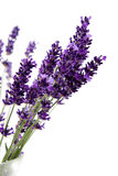 Purple lavender in closeup Stock Photo