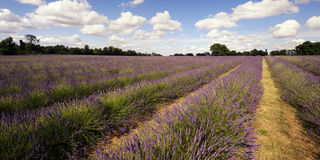 Purple lavender field. Scenic view of purple lavender field with cloudscape in background Stock Photo
