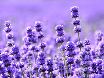 Purple lavender field. Focus on blooming lavender with background of purple lavender field Royalty Free Stock Photos