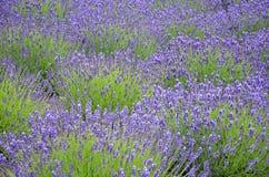 Purple lavender field Royalty Free Stock Photo