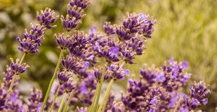 Purple lavender field close up in garden aromatherapy royalty free stock photography