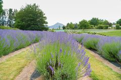 Purple lavender field with mountain background royalty free stock photo