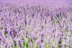 Purple Lavender Field royalty free stock photos