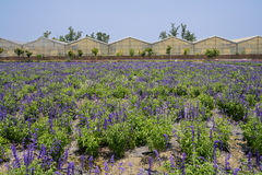 Purple lavender fields before greenhouses Royalty Free Stock Image
