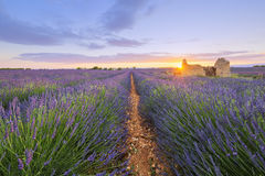 Purple lavender filed in Valensole at sunset Royalty Free Stock Images
