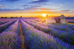 Purple lavender filed in Valensole at sunset Stock Images