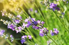 Purple lavender flower blooming in the fields with Royalty Free Stock Images