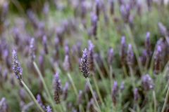 A purple lavender flower bush with a selective focus in Adelaide. South Australia on 5th September 2018 royalty free stock images