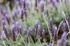 A purple lavender flower bush with a selective focus in Adelaide. South Australia on 5th September 2018 royalty free stock image