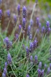 A purple lavender flower bush with a selective focus in Adelaide. South Australia on 5th September 2018 stock photography