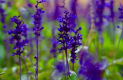 Purple lavender flower close up photo. Sunny summer day blooming flower stock images