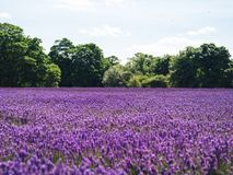 Purple lavender flower field Royalty Free Stock Photography
