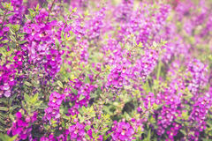 Purple Lavender flower field background Royalty Free Stock Images