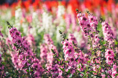 Purple Lavender flower field background Stock Images