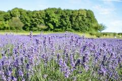 Purple Lavender flower in garden. 2 Royalty Free Stock Photo