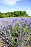 Purple Lavender flower in garden. 1 Stock Photography