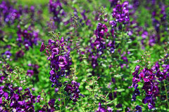 Purple lavender  flower meadow Royalty Free Stock Photos