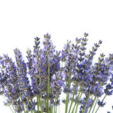 Purple lavender flowers Royalty Free Stock Photos