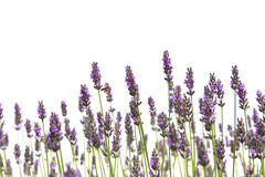 Purple lavender flowers Stock Photos