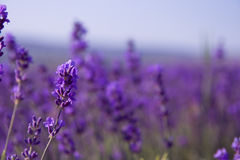 Purple lavender flowers on the blurred field background.  Royalty Free Stock Photography