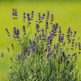 Purple lavender flowers on a blurred green background. Sunny day. Rustic garden Royalty Free Stock Photos