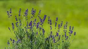 Purple lavender flowers on a blurred green background. Sunny day. Rustic garden Stock Photo