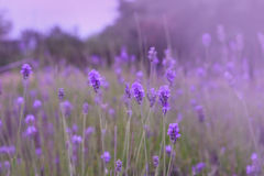 Purple lavender flowers in the field Stock Photos