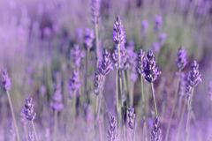 Purple lavender flowers in the field. Background Royalty Free Stock Images