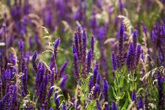 Purple lavender flowers in the field Royalty Free Stock Image