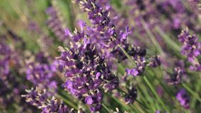 Purple lavender flowers in the field. Beautiful violet wild lavender backdrop meadow close up. stock footage