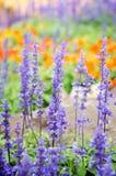 Purple lavender flowers in the field. Purple lavender flowers with green leaf  in the field Royalty Free Stock Photos