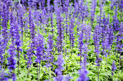 Purple lavender flowers in the field Stock Photo