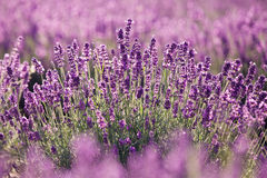 Purple lavender flowers in the field Royalty Free Stock Photography